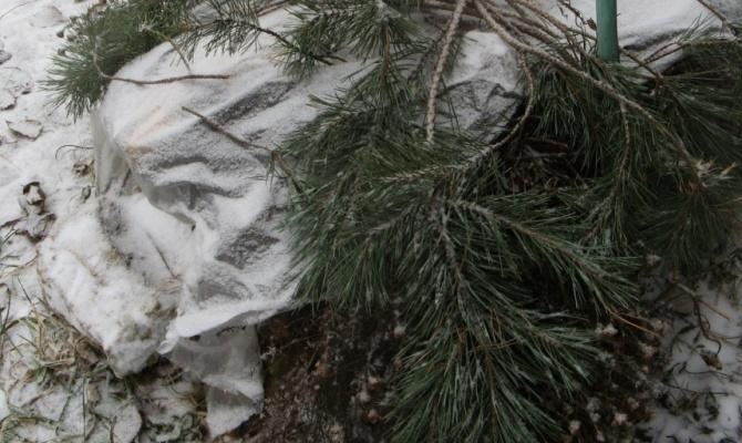 Ветки хвойных деревьев