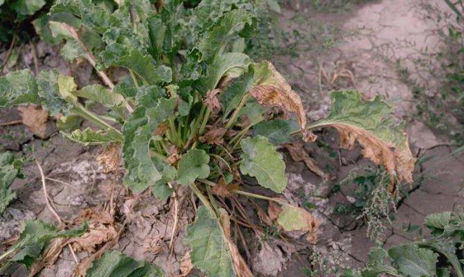 Фимоз и фузариоз на растении