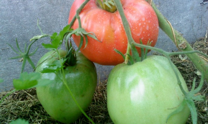 Томат Батяня сорт томатов - Наша грядка