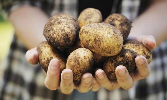 Большие клубни картофеля Аврора