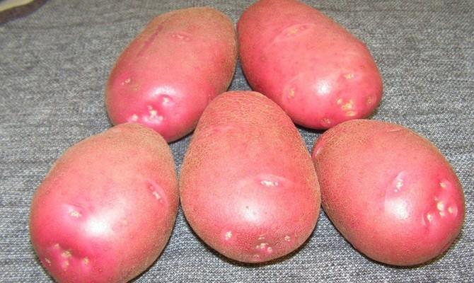 Большие клубни картофеля сорта Беллароза