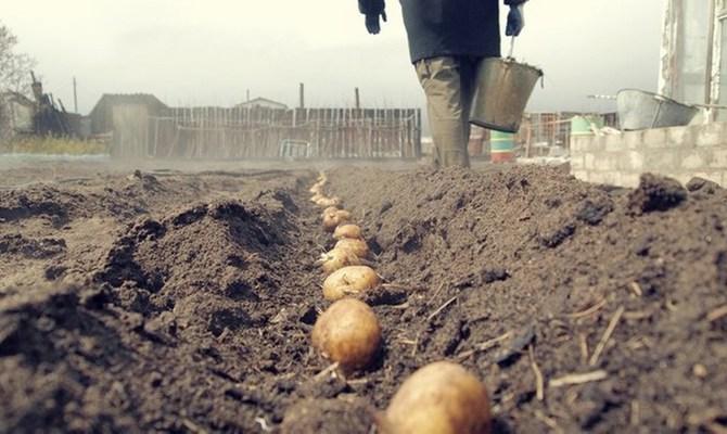 Посадка картофелин в грунт