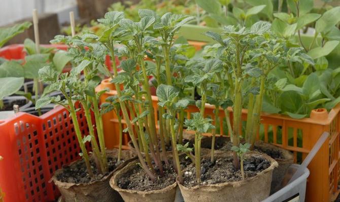 Побеги картофеля, выращенного из семян