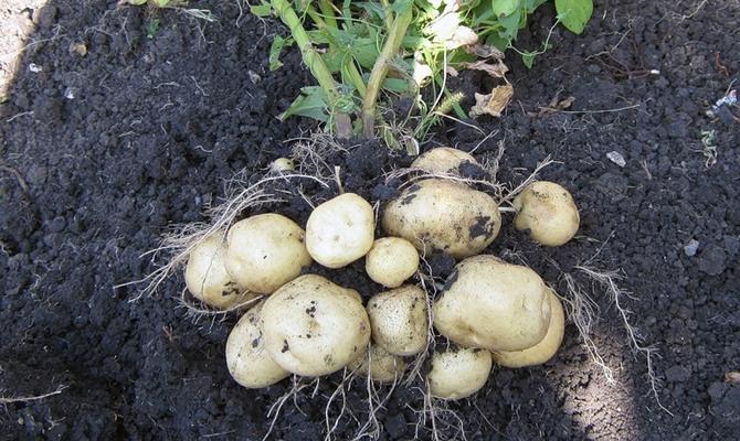 Клубни картофеля - сорт Латона