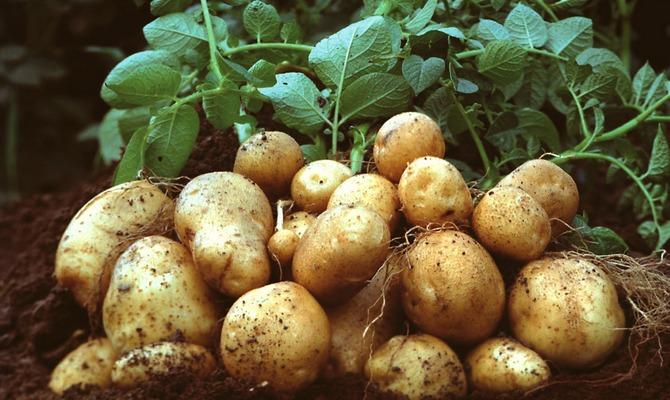 Большой куст с картофелем