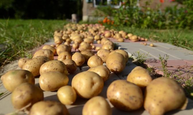 Подсушка картофеля перед хранением