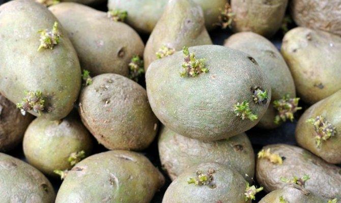 пророщенный картофель Зекура