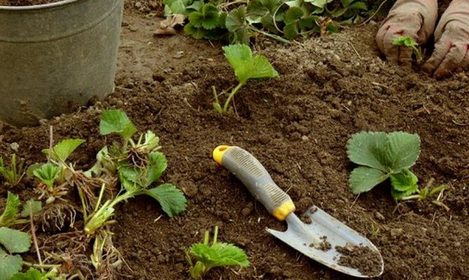 Высадка клубники в почву