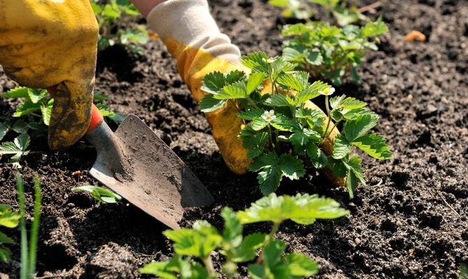 Рыхление почвы у клубничных кустов
