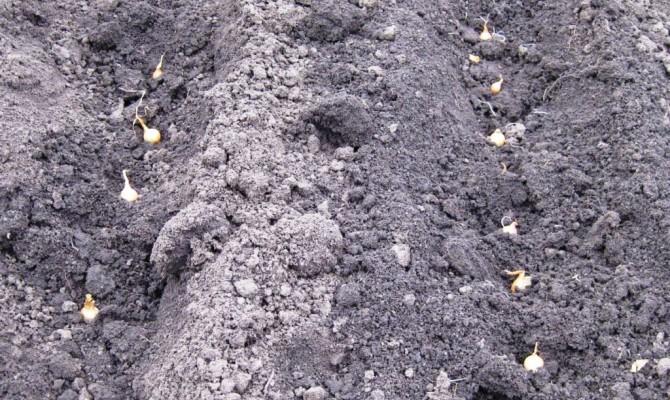 Посадка луковичек севка