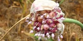 Правильная посадка чеснока бульбочками осенью