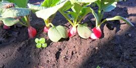 Посев редиса под зиму