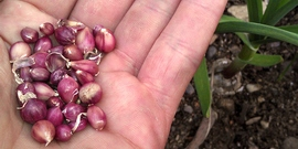 Выращивание чеснока из посадочных бульбочек