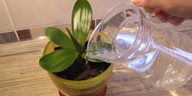 Как часто нужно поливать орхидею – изучаем вместе