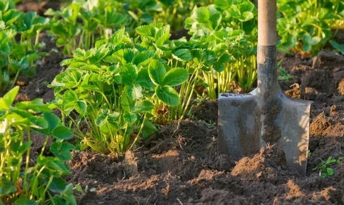 Рыхление почвы после полива