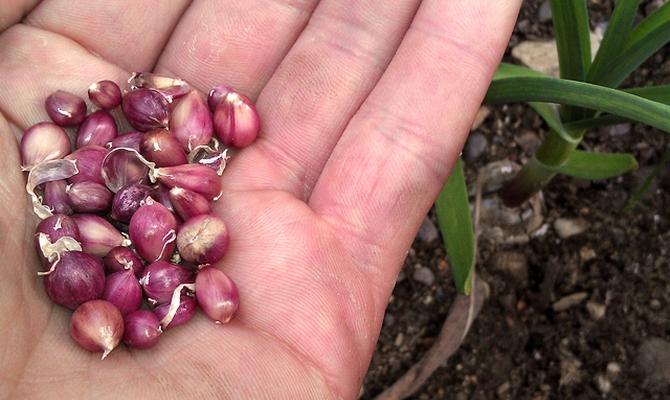 Правильное выращивание чеснока 31