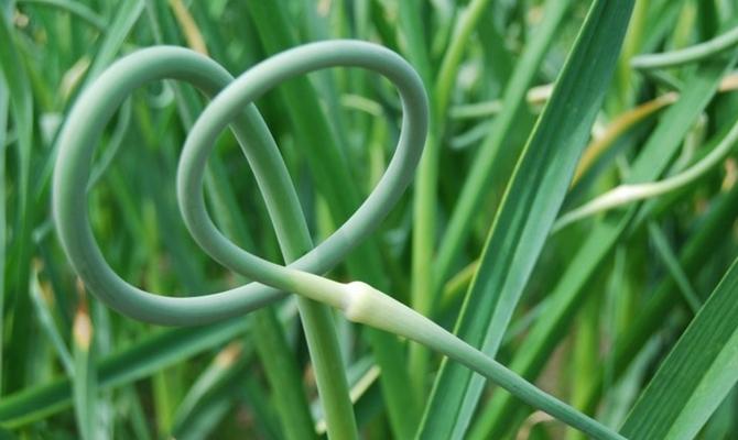 Зеленые перья чеснока