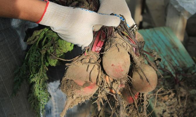 Сбор овощей руками