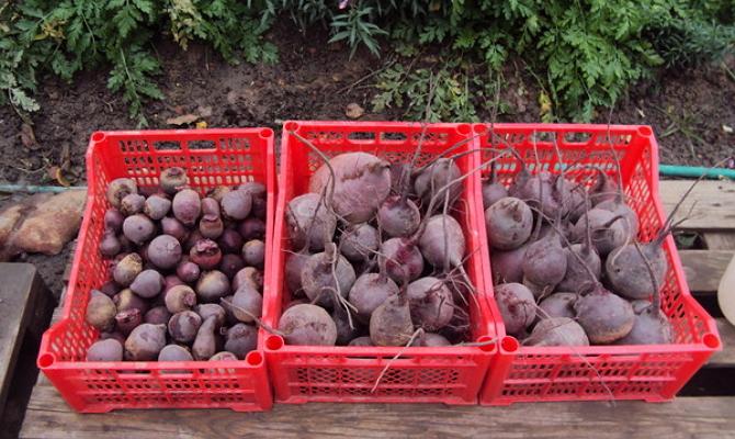 Просушивание отобранных корнеплодов