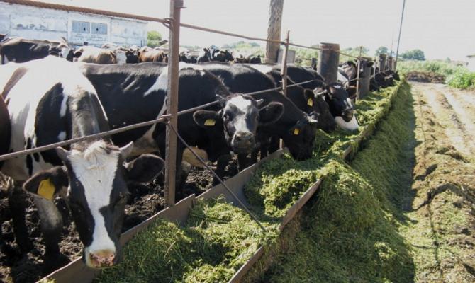 Корм для крупного рогатого скота