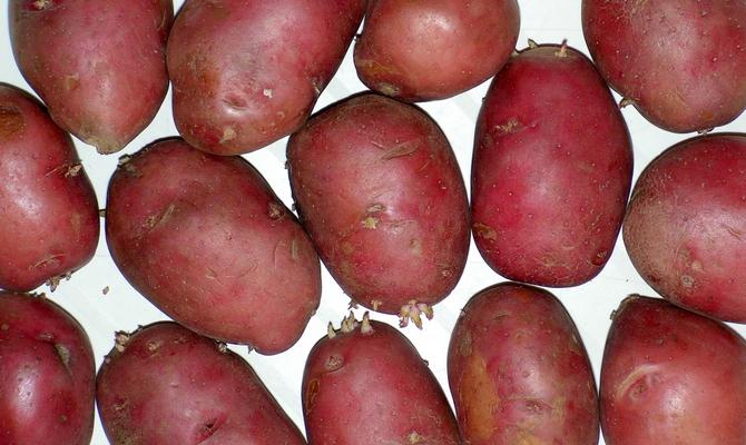 Сорт картофеля Розалинд