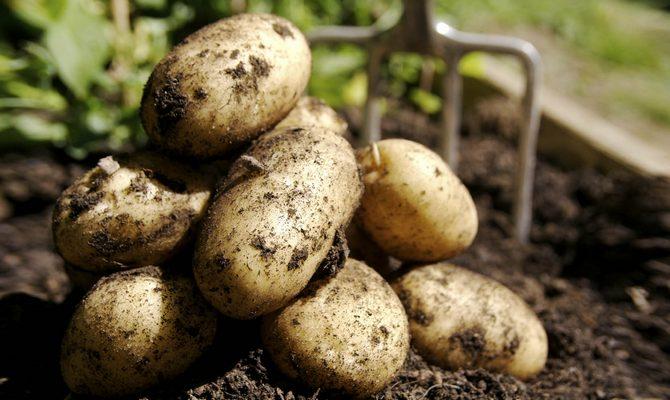 Осенний сбор урожая картофеля