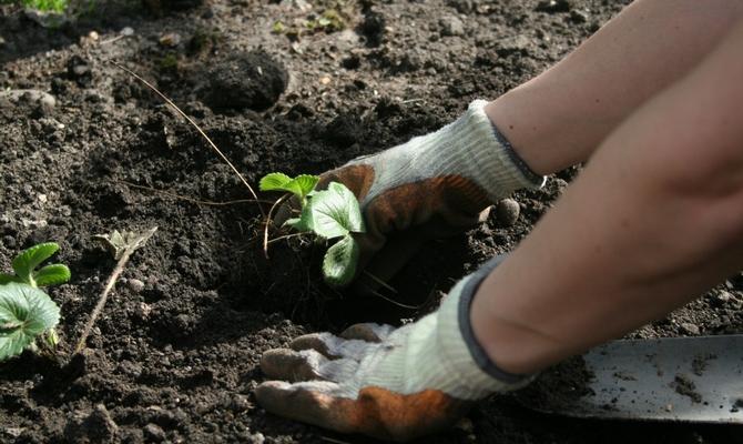 Высадки клубники в грунт