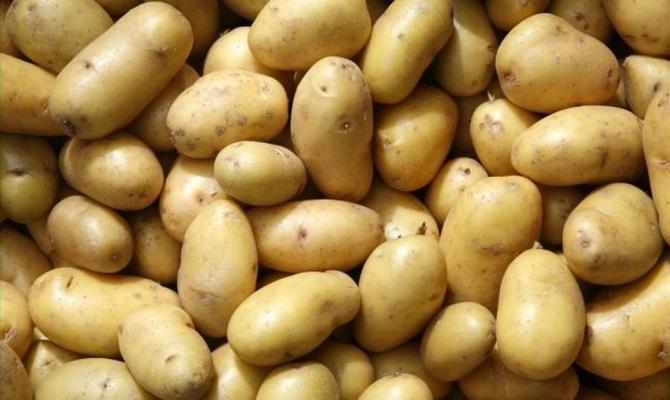 Клубни картофеля Скарб