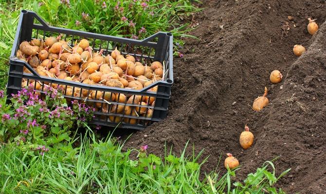 Посадка картофеля на огороде