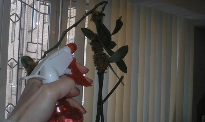 Опрыскивание листочков домашнего цветка