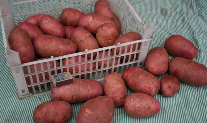 Большие клубни картофеля