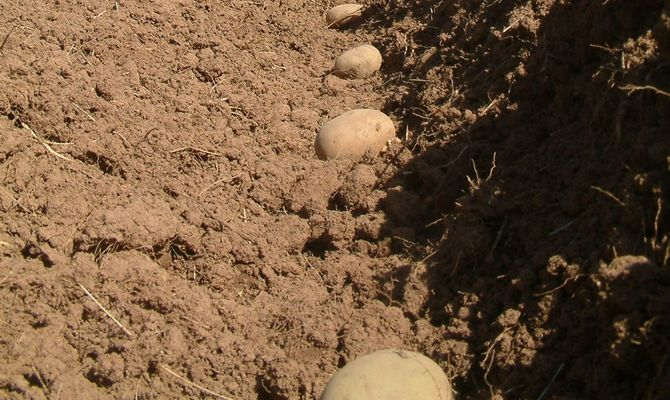 Посадка картофеля на грядки