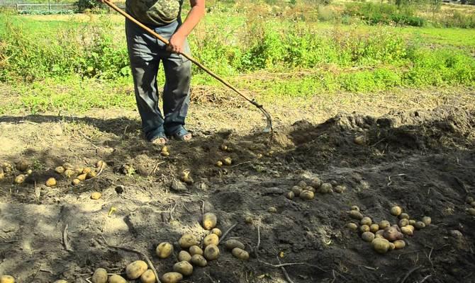 Сбор картофеля осенью