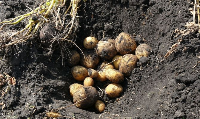 Выращивание картофеля Винета