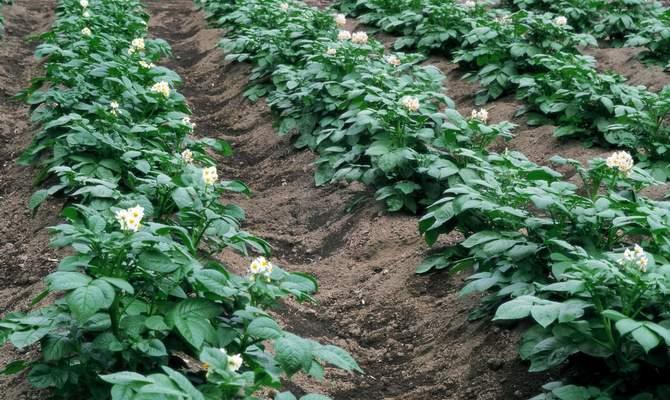 Грядки, засаженные картофелем
