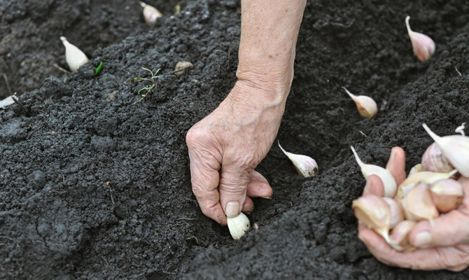 Методика осенней посадки чеснока