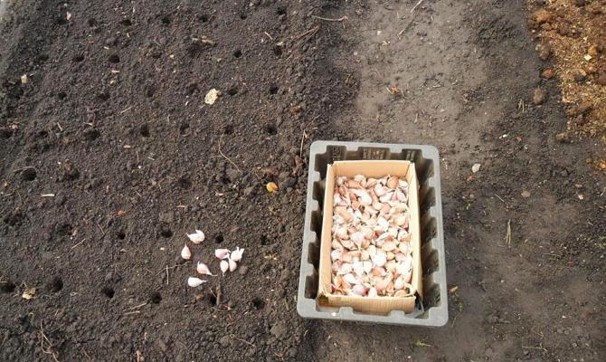Высадка чеснока в свежеперекопанный грунт