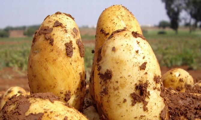 Клубни картофеля Уладар
