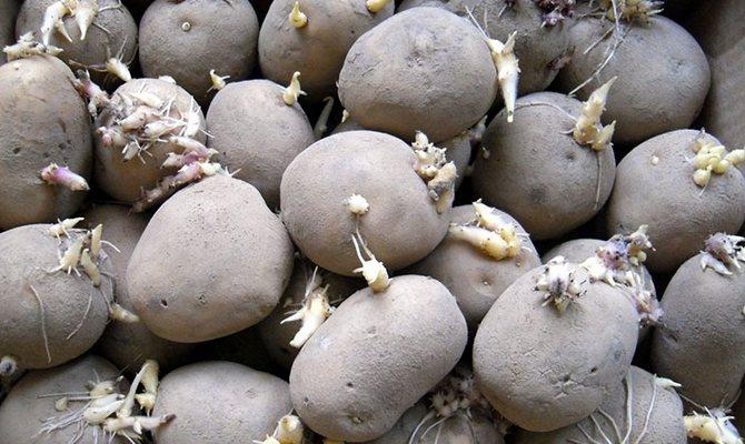 Подготовленный к высадке пророщенный картофель