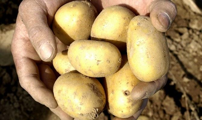 Большие клубни сорта картофель Уладар