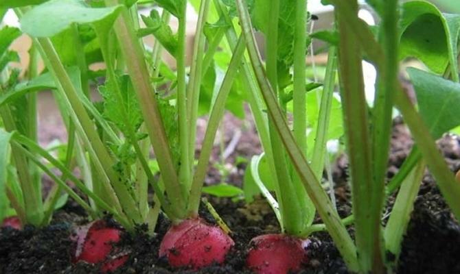 Выращивание редиски в теплице зимой