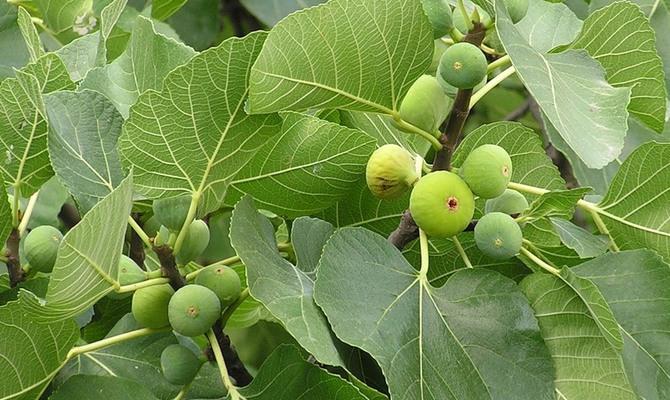 Плодовое фиговое дерево
