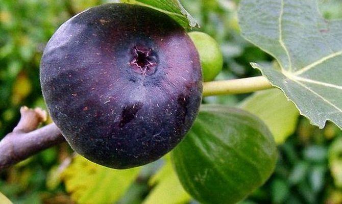 Спелый плод инжира