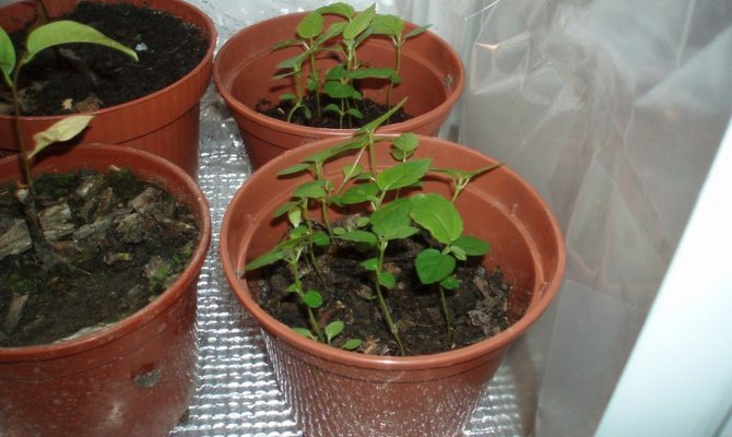 Выращивание в домашних условиях инжира
