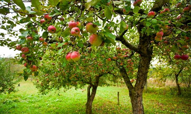 Высокорослые плодоносящие деревья