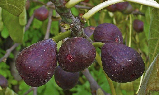 Инжир - растение с богатой историей