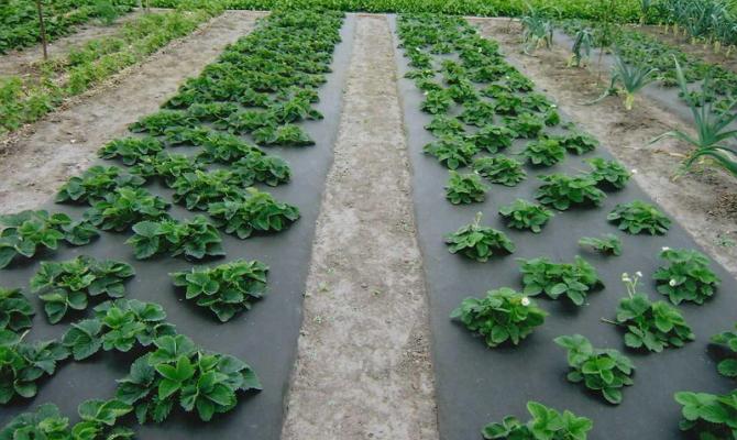 Выращивание клубники на грядках под спанбондом