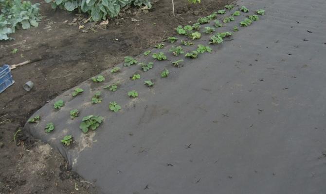 Разметка мест для посадки растений на агроволокно