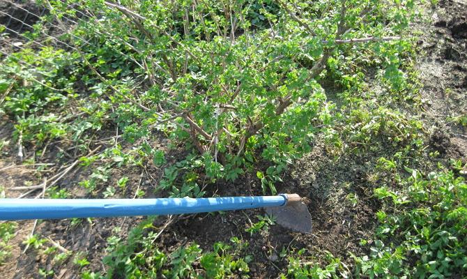 Рыхление земли возле кустарника смородины весной