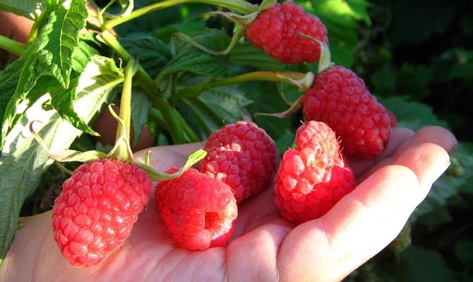 Большие ягоды на аккуратно подстриженных кустиках